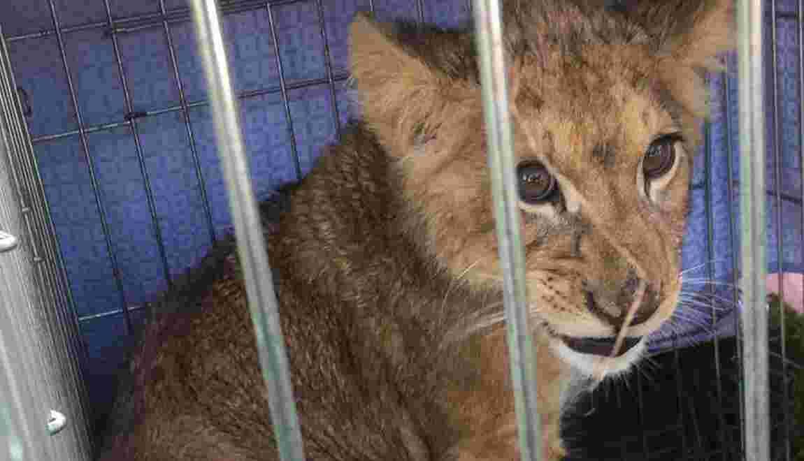 Pays-Bas: un lionceau en cage abandonné dans un champ