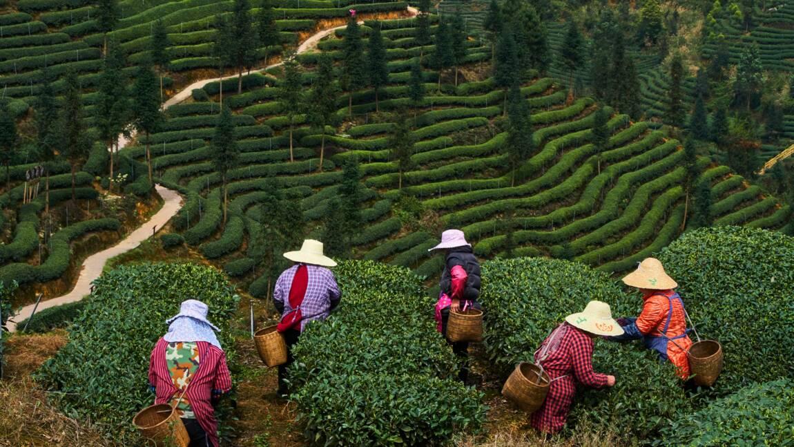 L'empire du thé en Chine : 5000 ans pour conquérir le monde