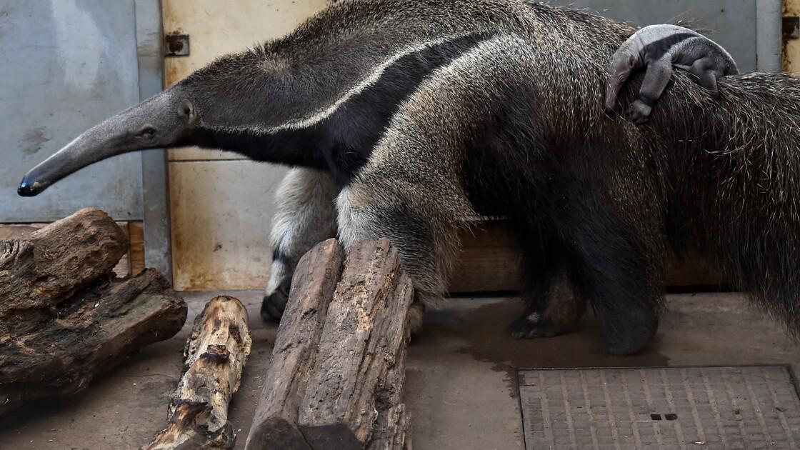 Moselle: naissance d'un fourmilier au zoo d'Amnéville
