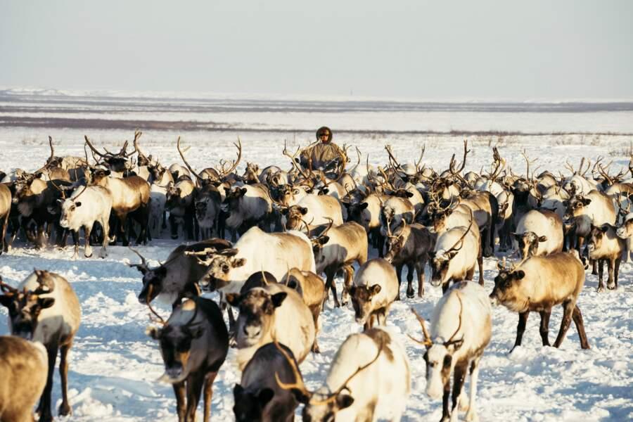 Des animaux au cœur de la vie des Nenets
