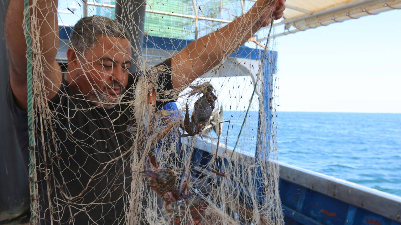 Tunisie: le crabe bleu, prédateur redoutable devenu proie prisée