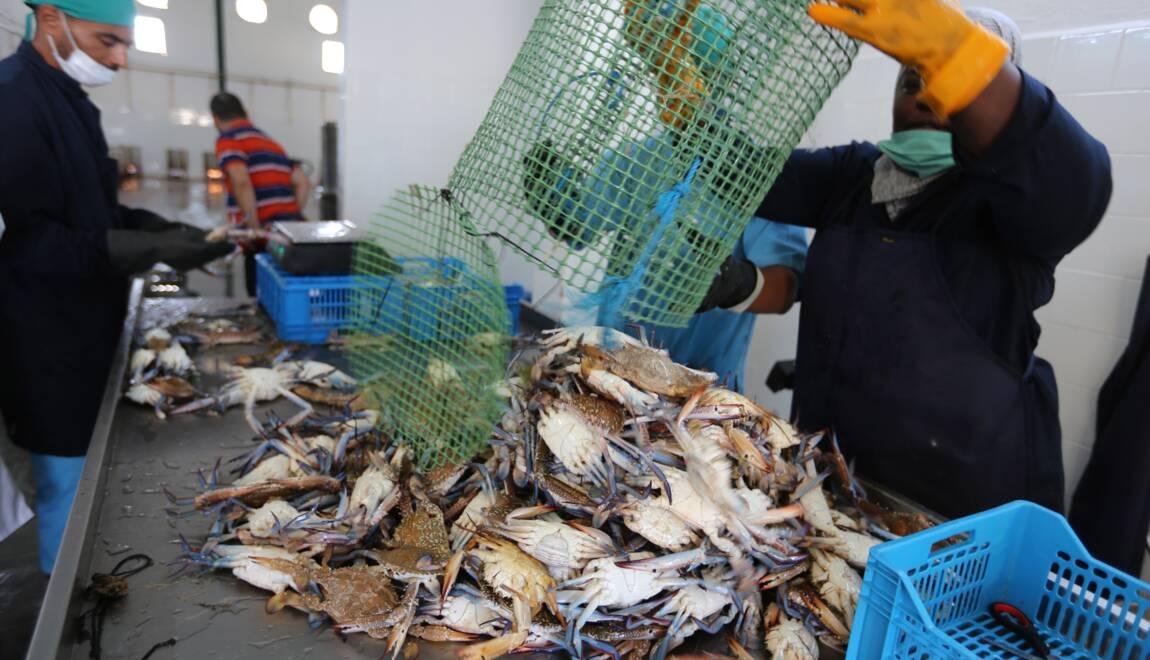 """Résultat de recherche d'images pour """"crabes bleu"""""""
