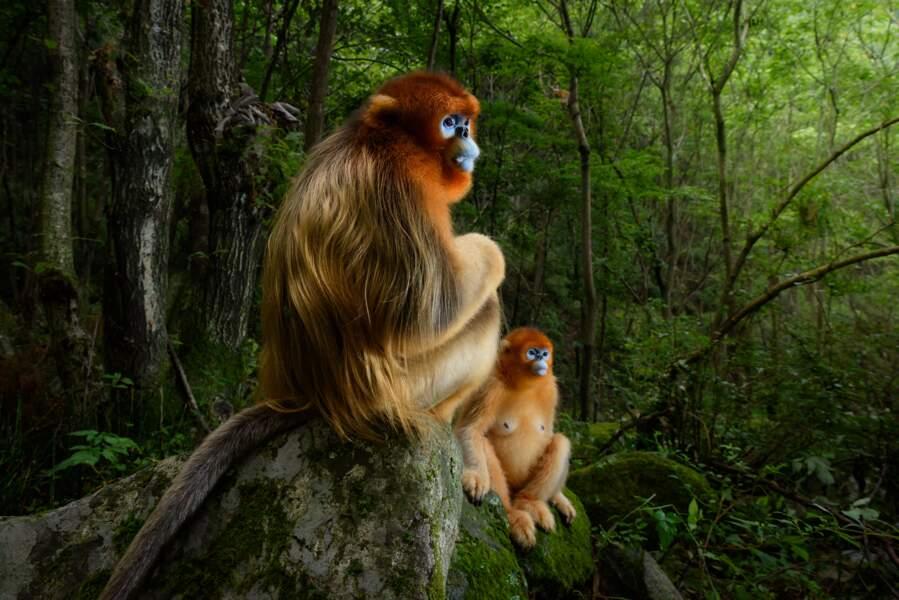 """Un singe en or - Marsel Van Oosten (Pays-Bas), grand prix """"photojournaliste animalier : photo de l'année"""""""