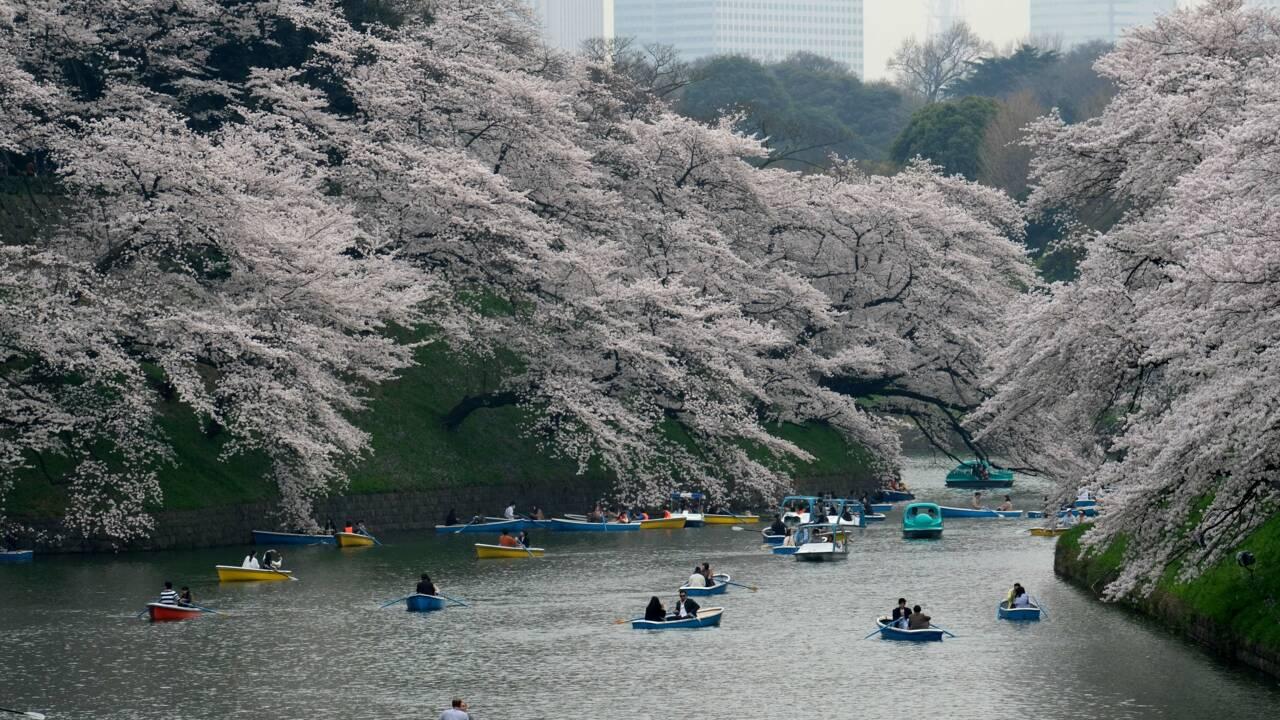 Japon : des cerisiers en fleurs en automne, un phénomène rare