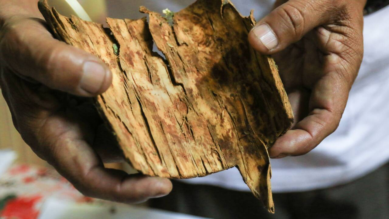 Le quinquina, l'arbre national du Pérou, méconnu et menacé