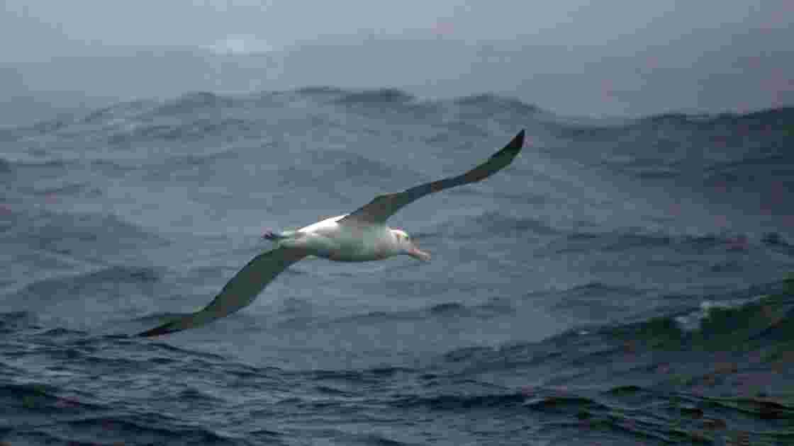 Une espèce rare d'albatros menacée par des souris géantes