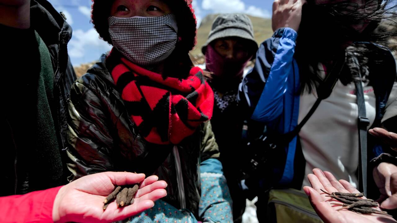 """Le """"Viagra de l'Himalaya"""" sans doute victime du changement climatique"""