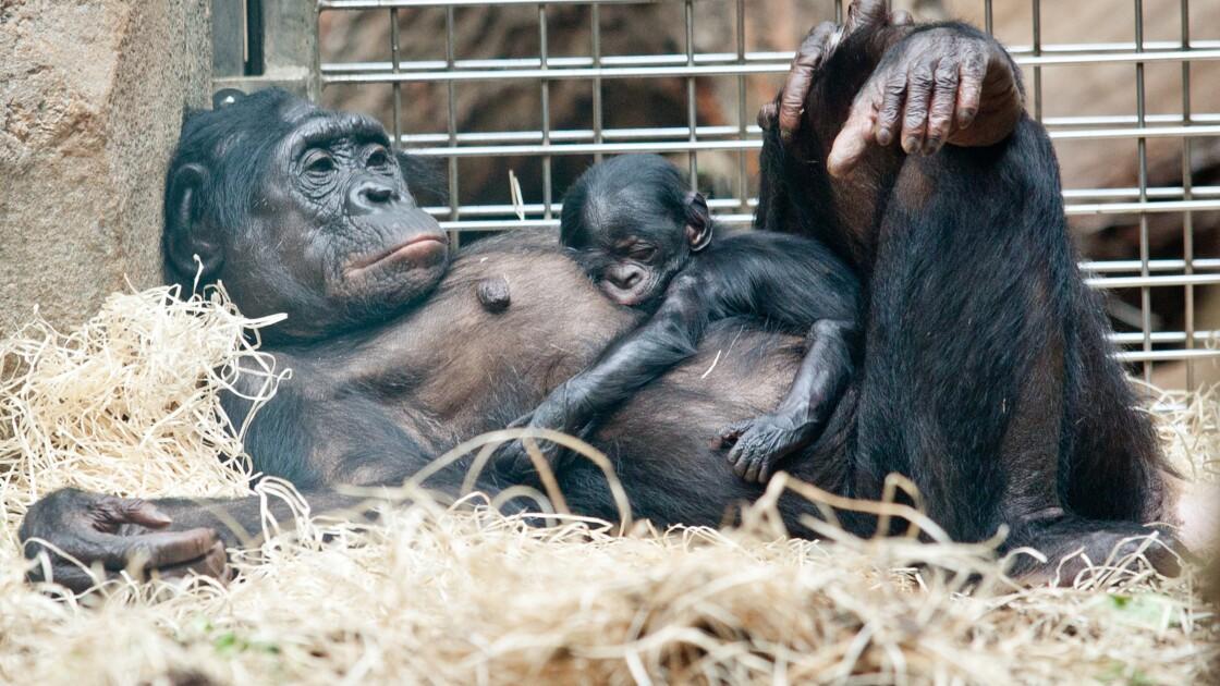 """Le grand singe est-il une """"personne""""? L'idée fait son chemin"""