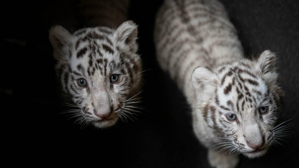 La génétique confirme qu'il y a 6 sous-espèces de tigres (et non 2 ou 5)