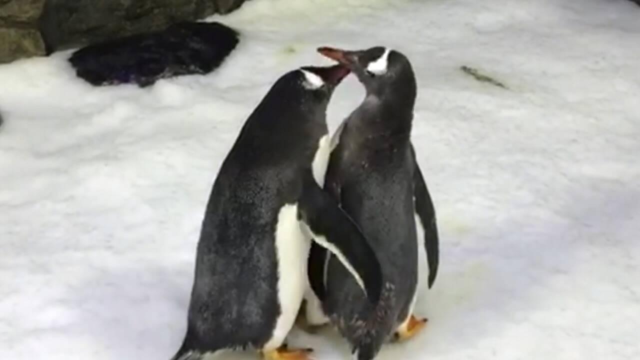 Un couple de manchots mâles élève un enfant