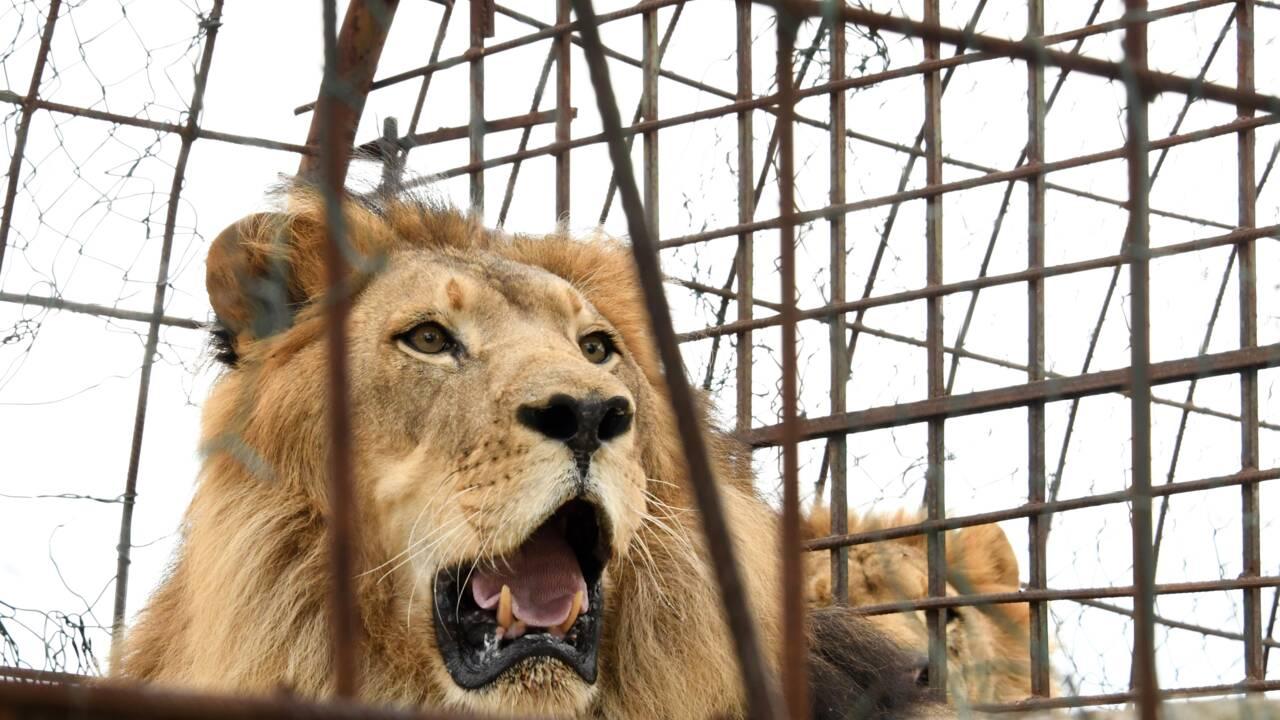 """Albanie: onze animaux sauvés d'un zoo qualifié d'""""enfer"""""""
