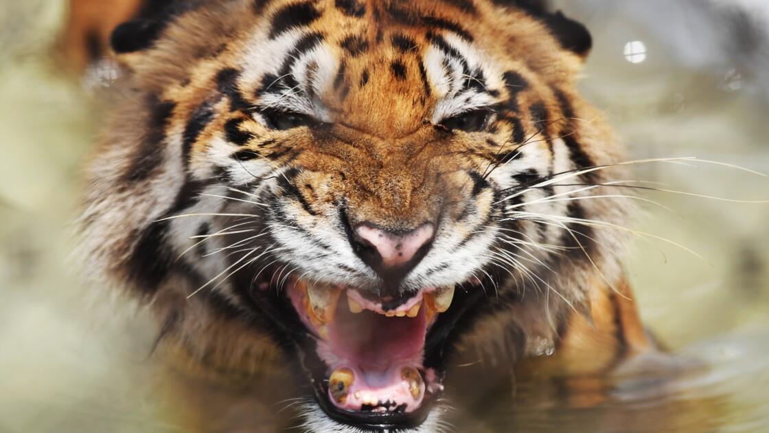 Bangladesh: le nombre de tigres augmente pour la première fois depuis 15 ans