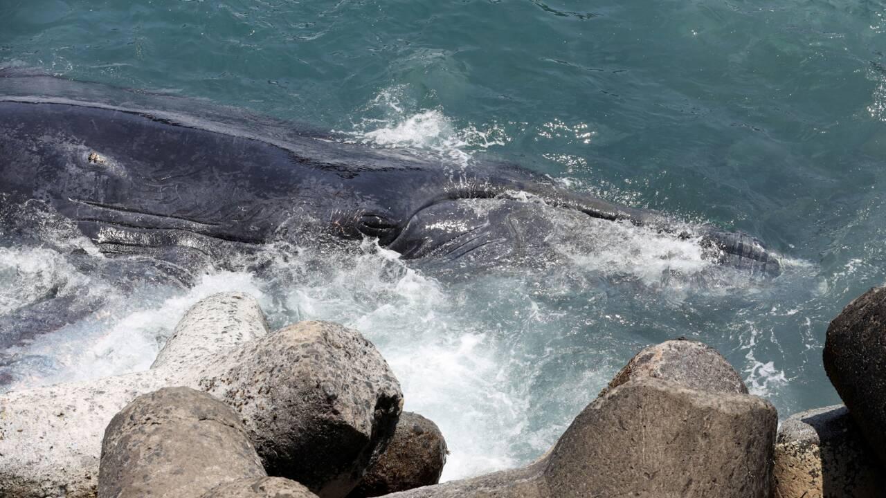 À la Réunion, vive émotion après la mort d'un baleineau échoué
