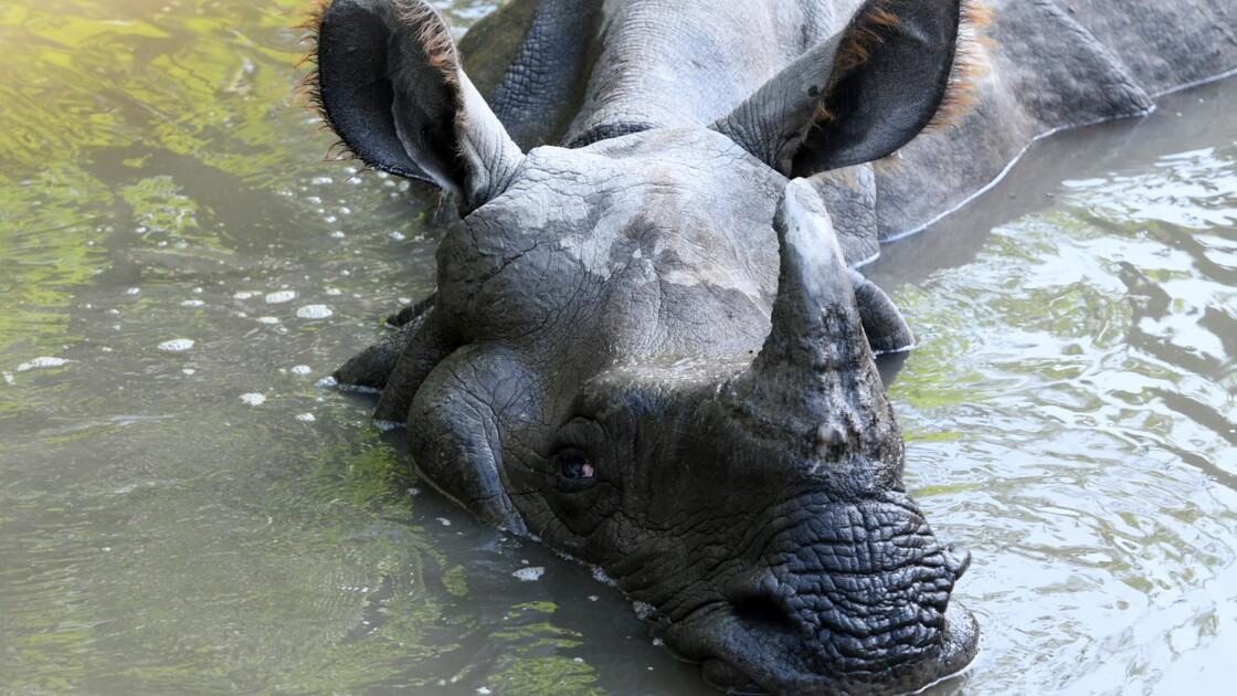 Sotheby's met fin aux enchères de cornes de rhinocéros