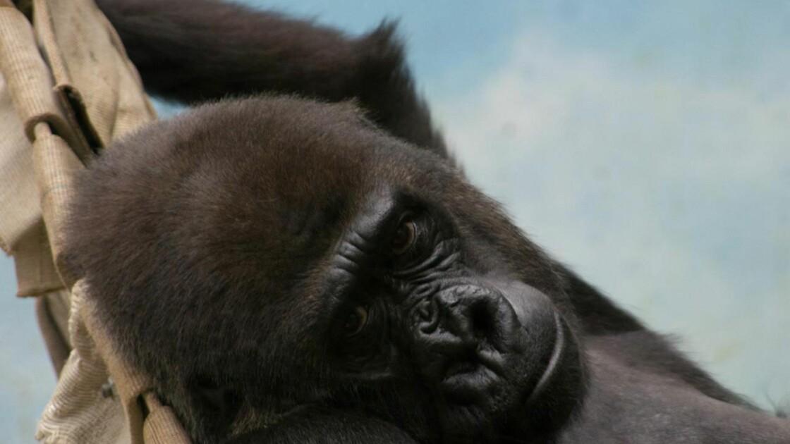 Naissance d'un gorille au zoo de Beauval