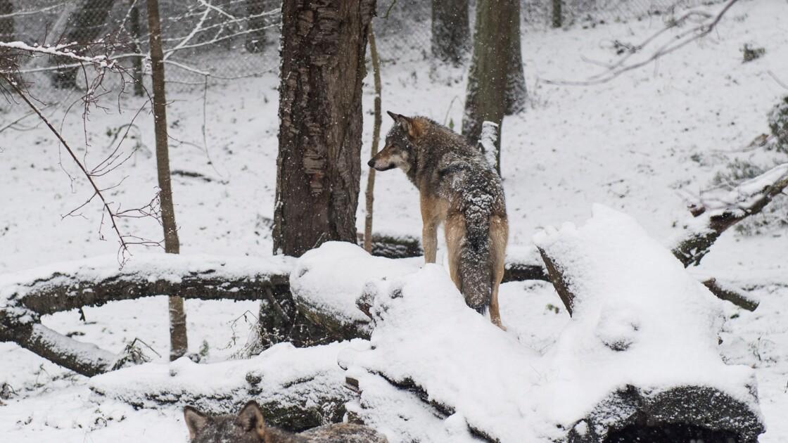 En Suède, le millionnaire qui haïssait les loups