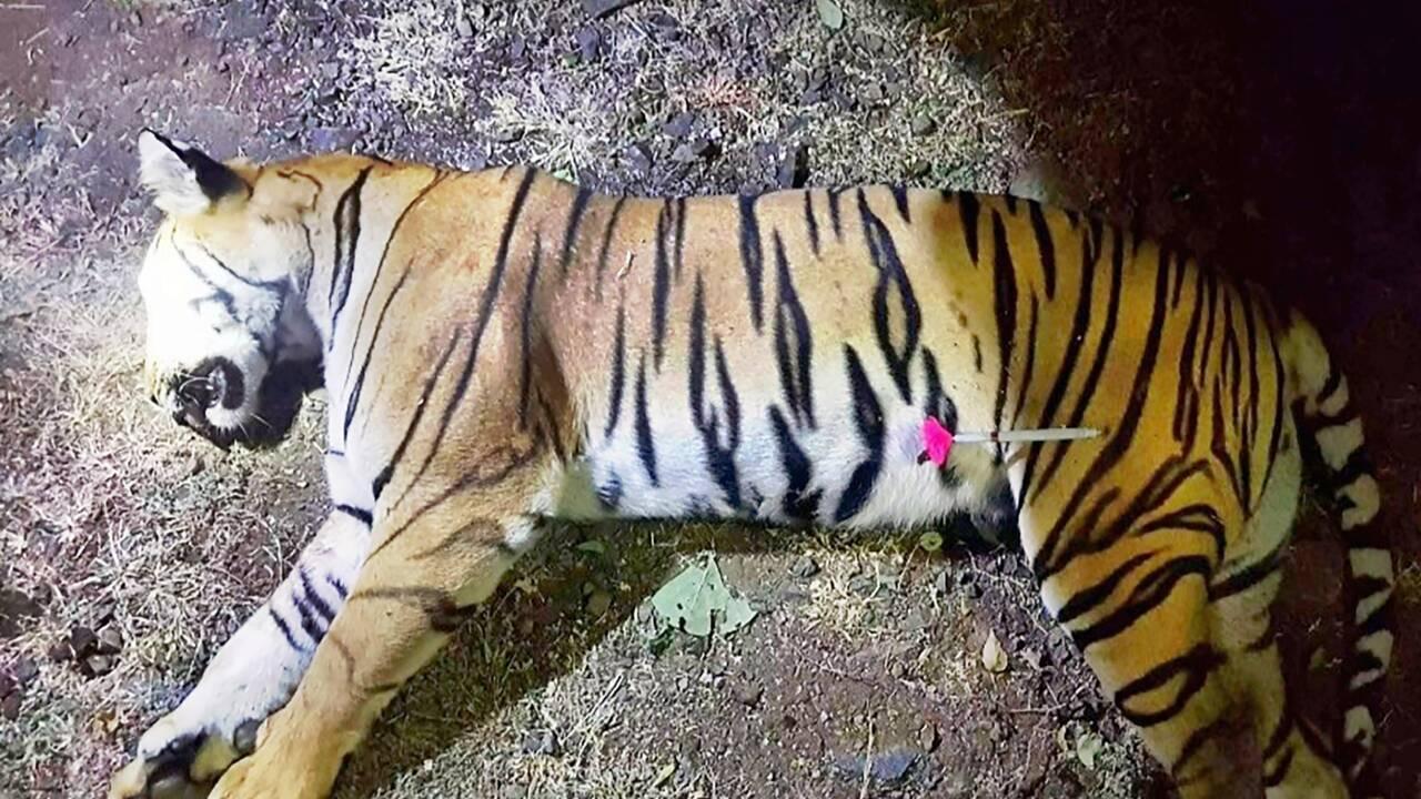 Une tigresse meurtrière abattue en Inde, après une battue d'ampleur