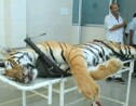 Une nouvelle tigresse tuée en Inde