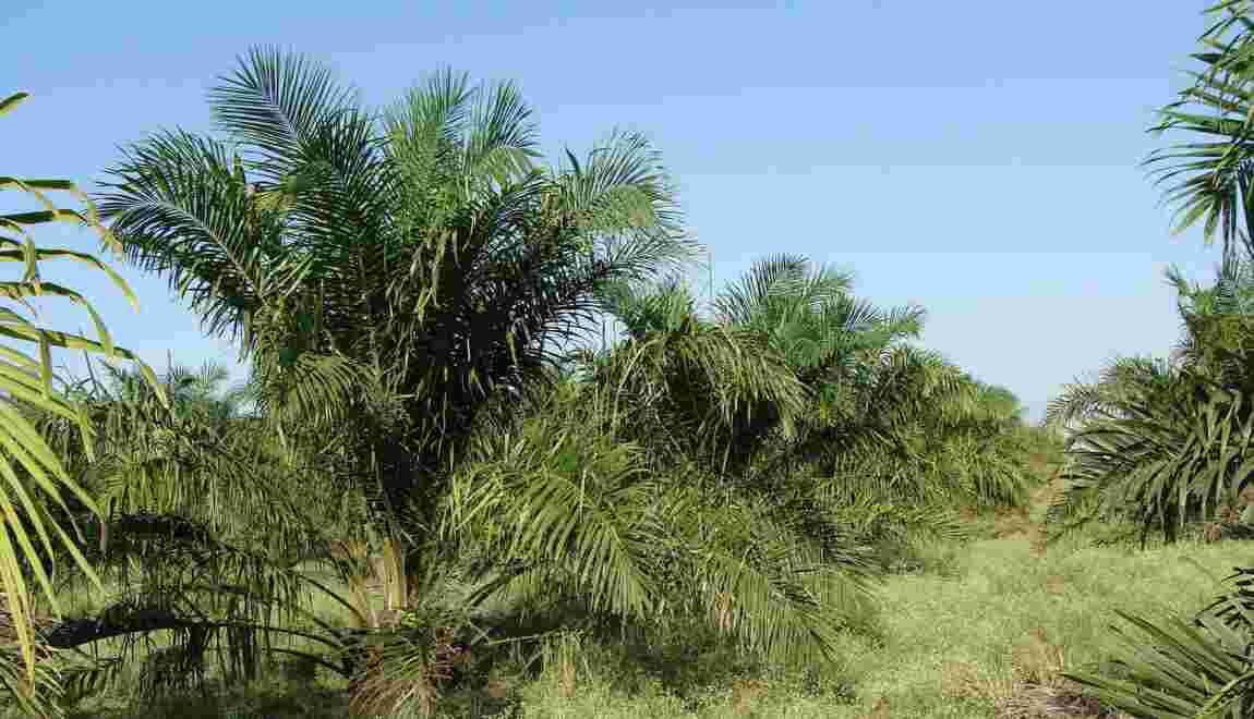 Huile de palme : ses véritables conséquences sur l'environnement