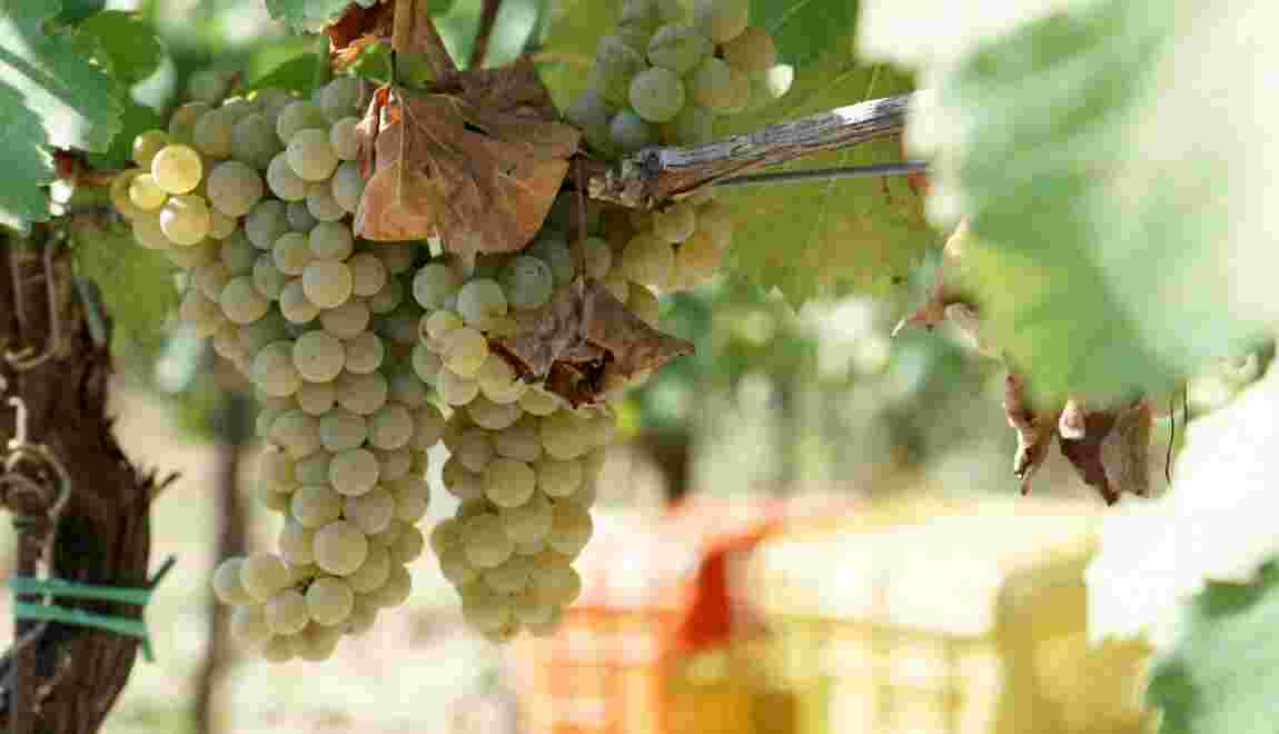 Italie : le Lacryma Christi, le prodigieux nectar des Napolitains