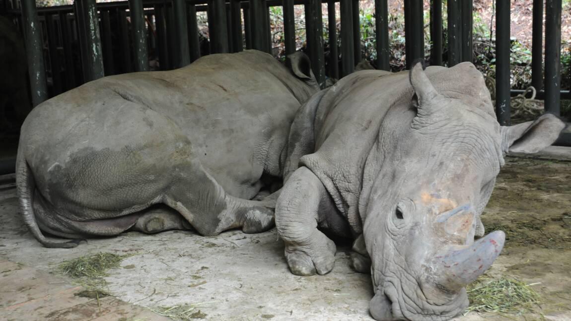 Tigres et rhinocéros : la Chine maintient l'interdiction du commerce