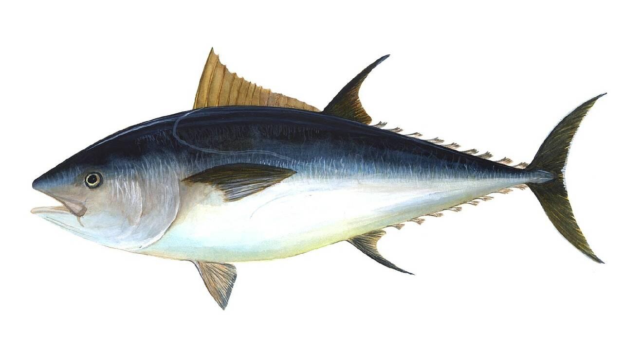 Pas de répit pour le thon obèse dans l'Atlantique