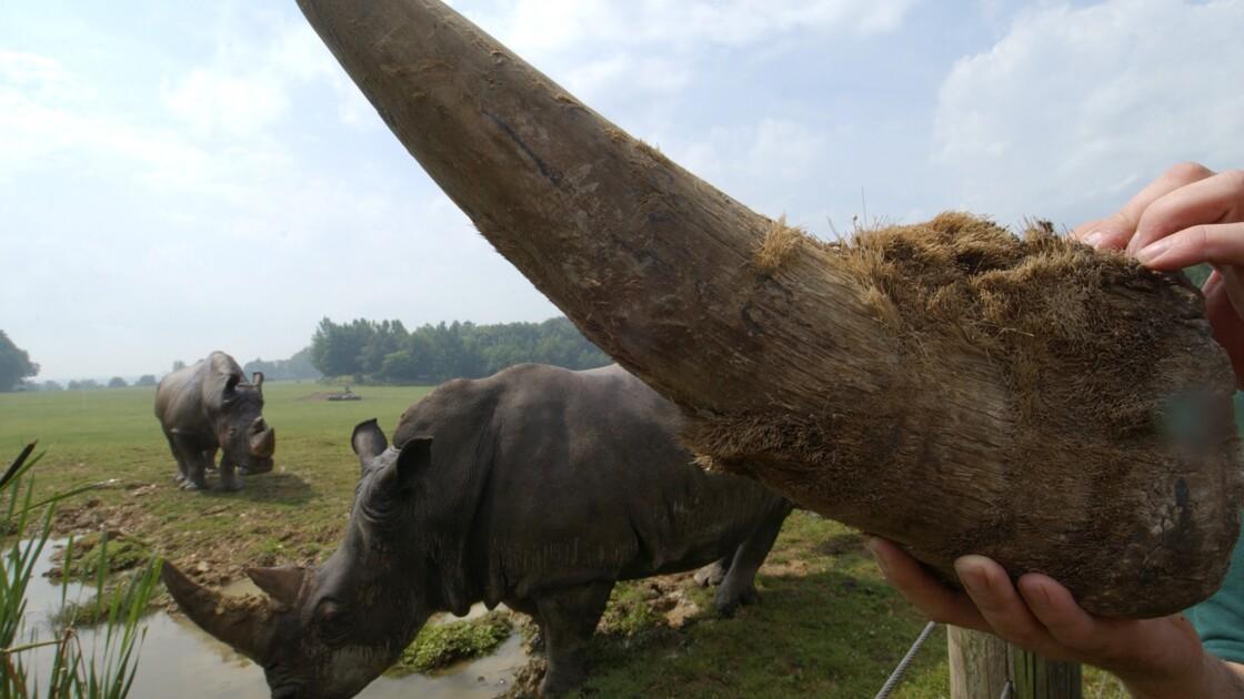 Un procureur et deux femmes condamnés en Thaïlande pour contrebande de cornes de rhinocéros