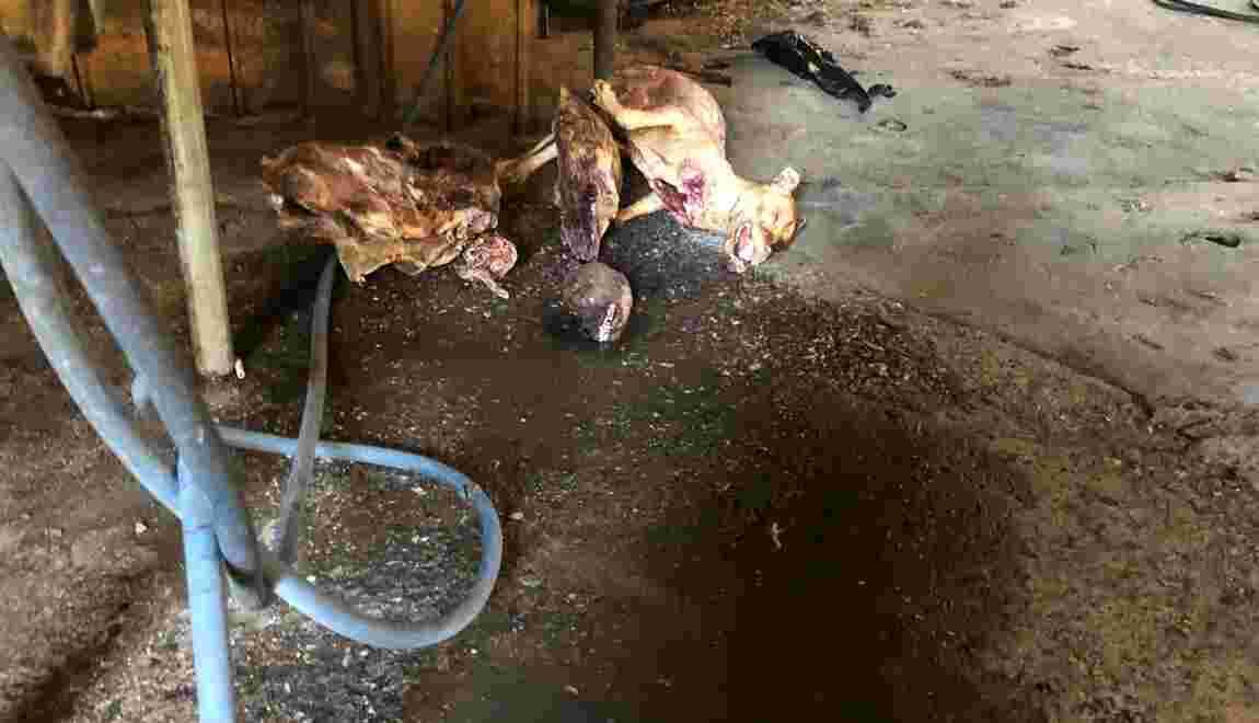 Corée du Sud: fermeture du plus grand complexe d'abattage de chiens