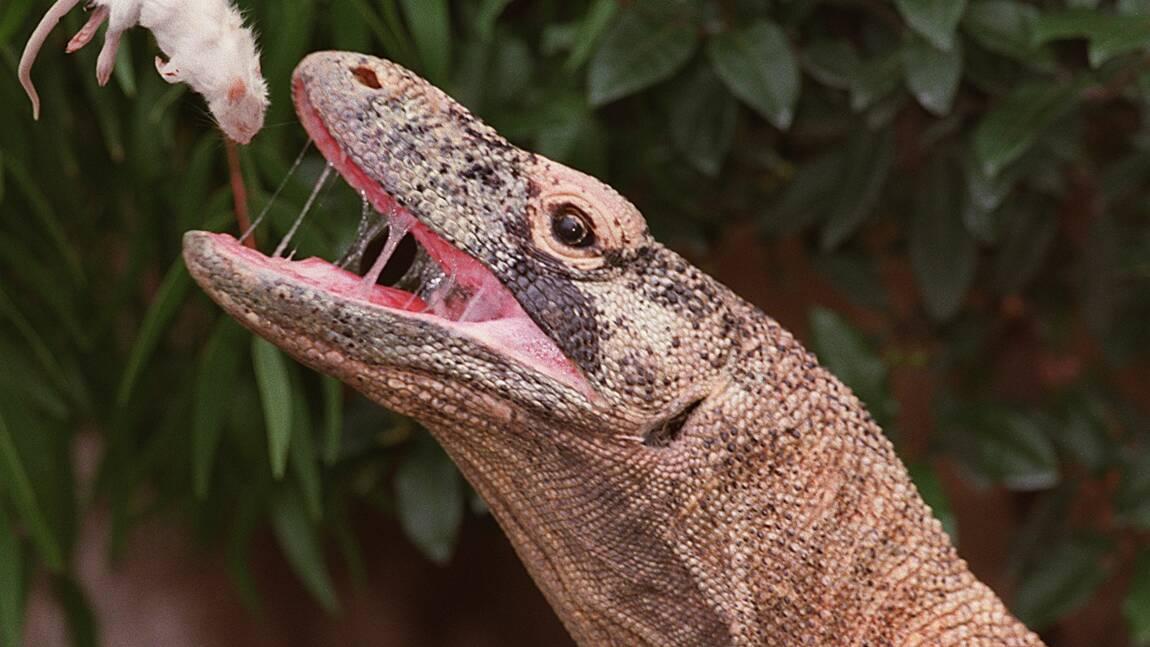 Voir un dragon de Komodo de près pourrait bientôt coûter 500 dollars