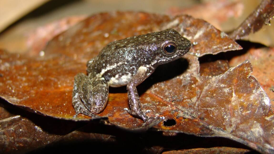Venezuela: découverte d'une nouvelle espèce de crapaud miniature