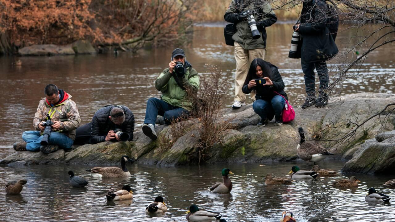 A Central Park, un canard mandarin séduit les foules