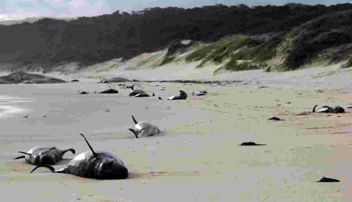 Australie: 28 cétacés retrouvés morts sur une plage du sud-est