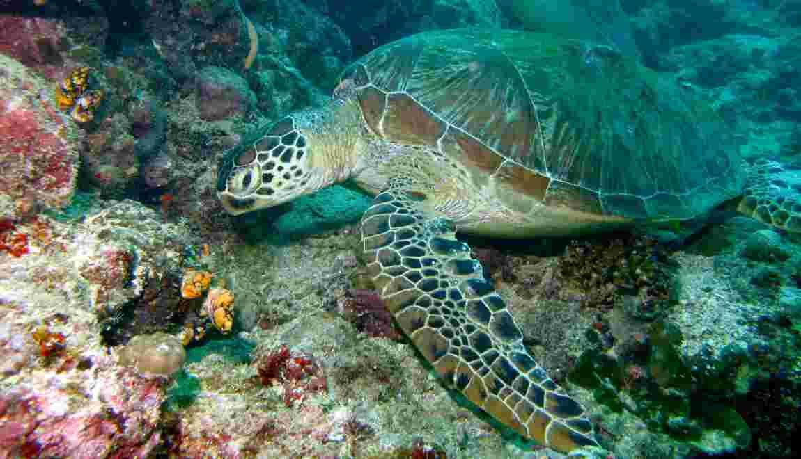Des microplastiques découverts dans l'organisme de toutes les tortues marines