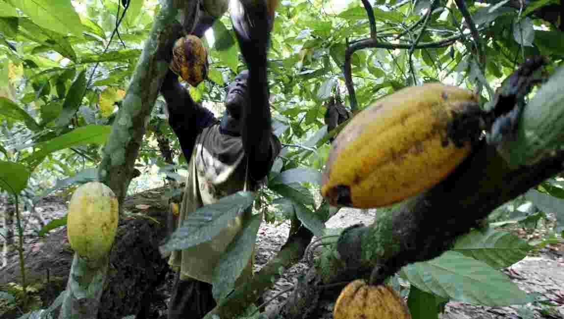 La déforestation se poursuit en Côte d'Ivoire et au Ghana à cause du cacao