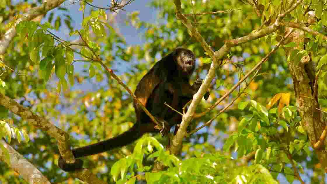 Au Costa Rica, des singes pourraient avoir changé de couleur à cause des pesticides