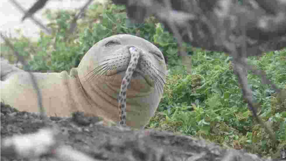 L'étrange histoire des phoques découverts avec une anguille coincée dans le nez à Hawaii