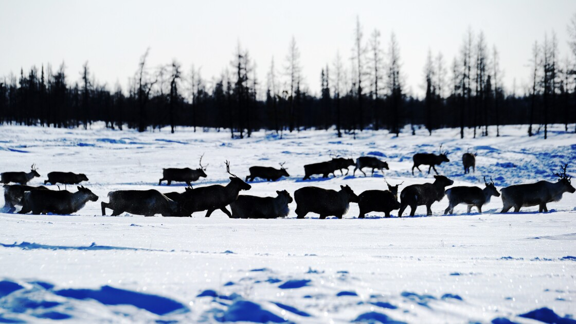 Moins de caribous, davantage d'algues rouges dans un Arctique plus chaud en 2018