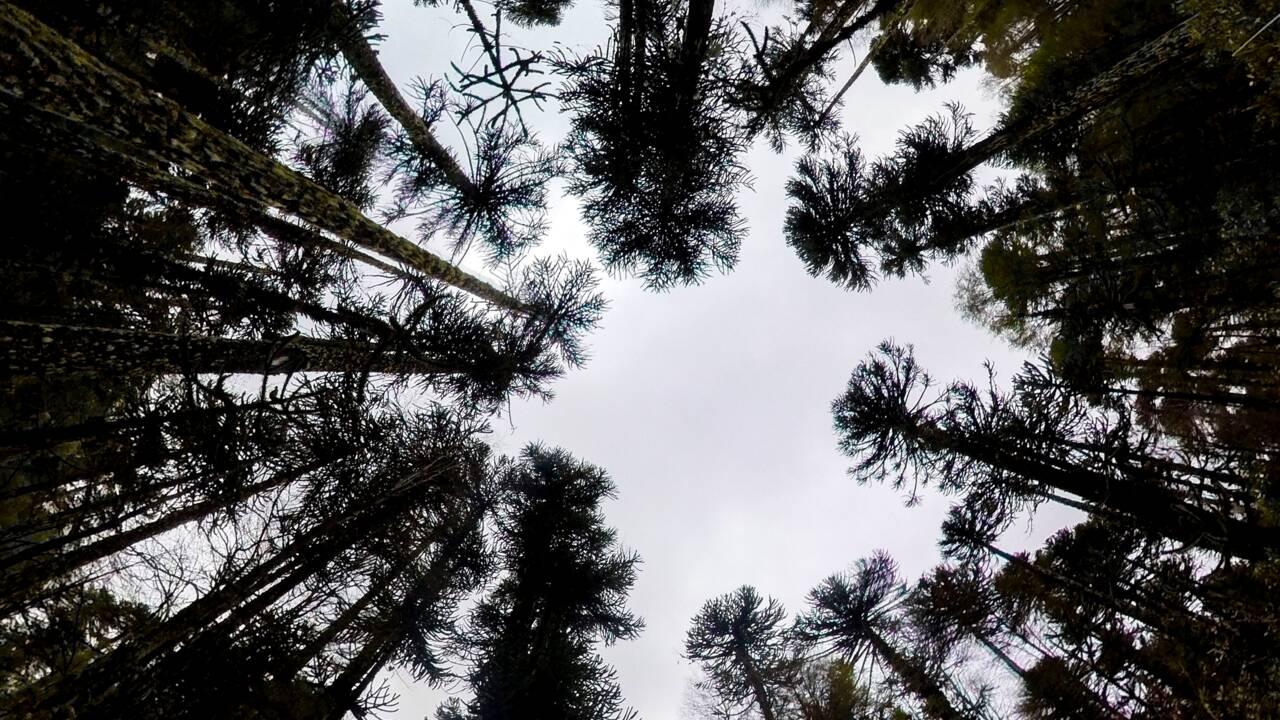 Au Chili, le risque d'une hétacombe plane sur les forêts de pins millénaires