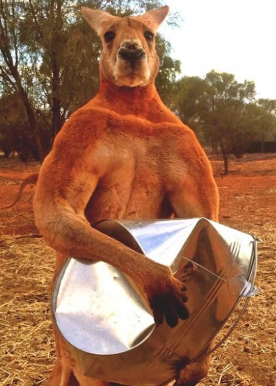 """Roger, le célèbre kangourou """"culturiste"""" est mort en Australie"""