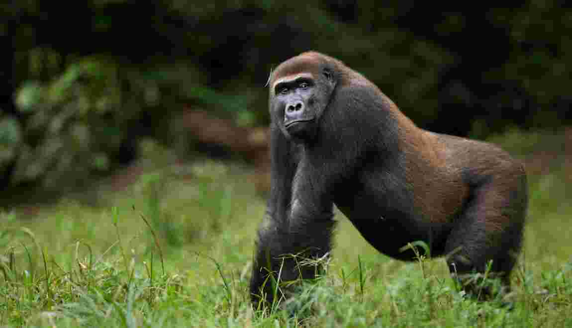 La République du Congo inaugure un nouveau parc national pour protéger les espèces en danger