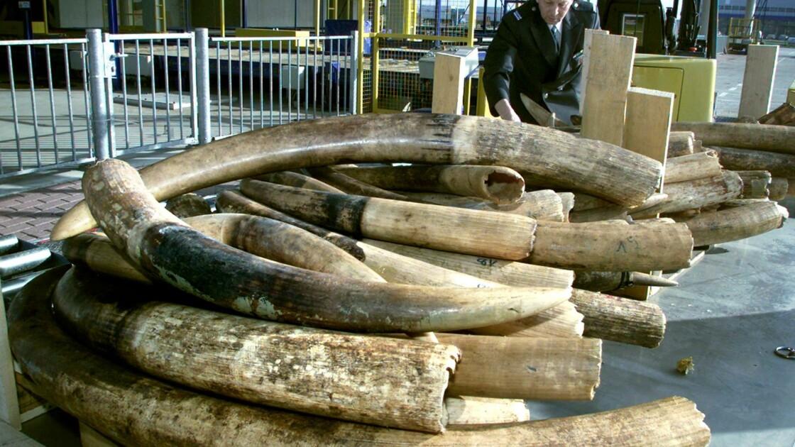 Pays-Bas: l'interdiction du commerce de l'ivoire durcie en 2019