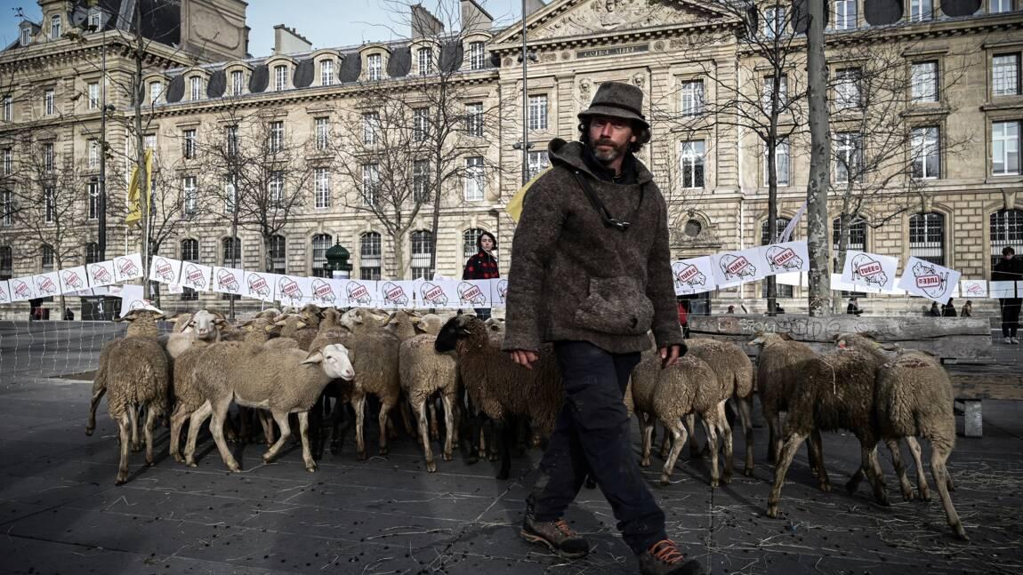 """Des brebis à Paris pour dénoncer """"la cohabitation impossible"""" avec le loup"""