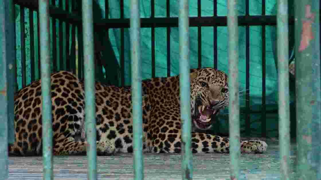 Inde : un léopard tue un enfant de trois ans