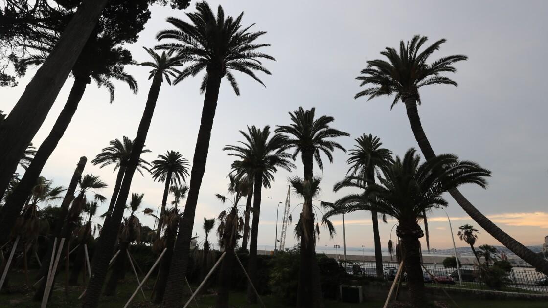 Il est déjà trop tard pour sauver tous les palmiers du littoral français, affirme l'Anses