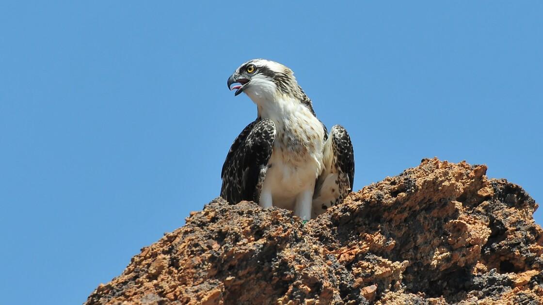 Les oiseaux de la réserve de Scandola en Corse menacés par le tourisme de masse