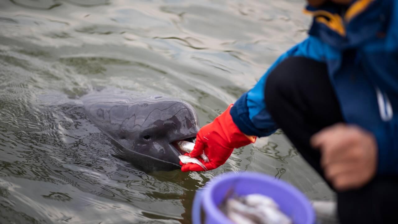 En Chine, le marsouin du Yangtsé en survie précaire hors du fleuve