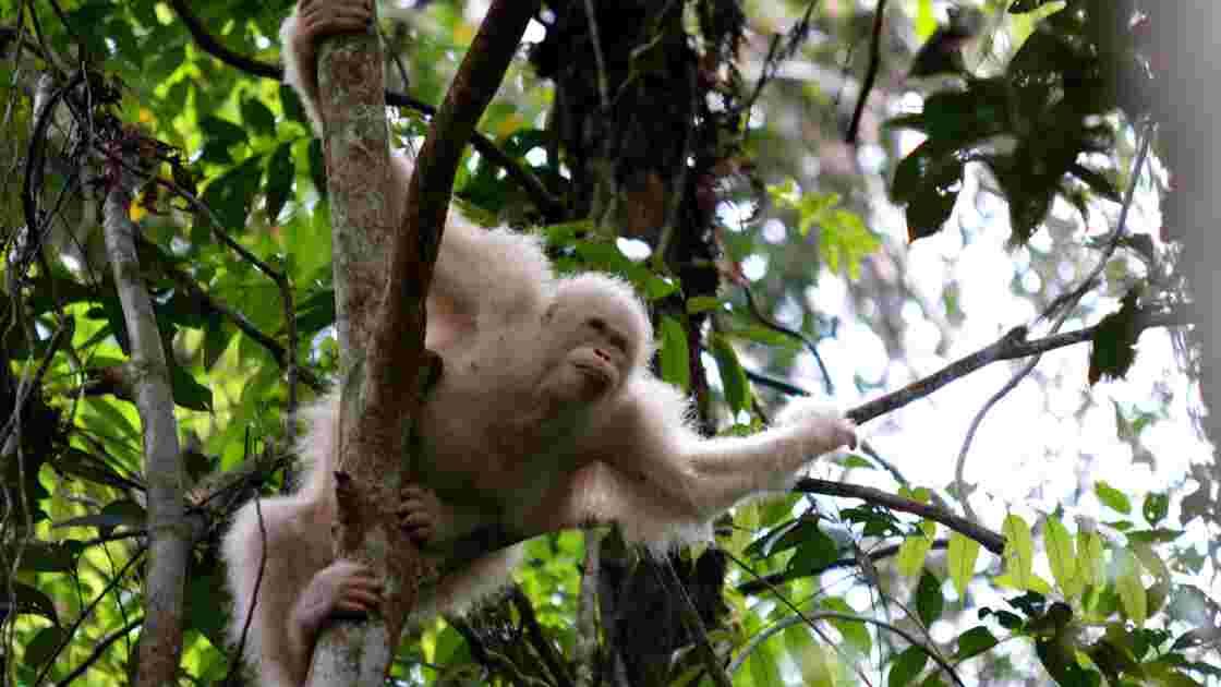Un rarissime orang-outang albinos retrouve la jungle de Bornéo