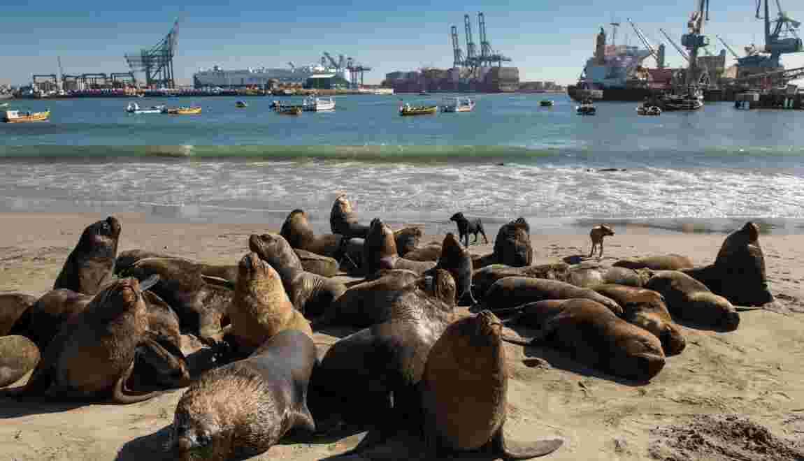 Les lions de mer, cauchemar des pêcheurs au Chili