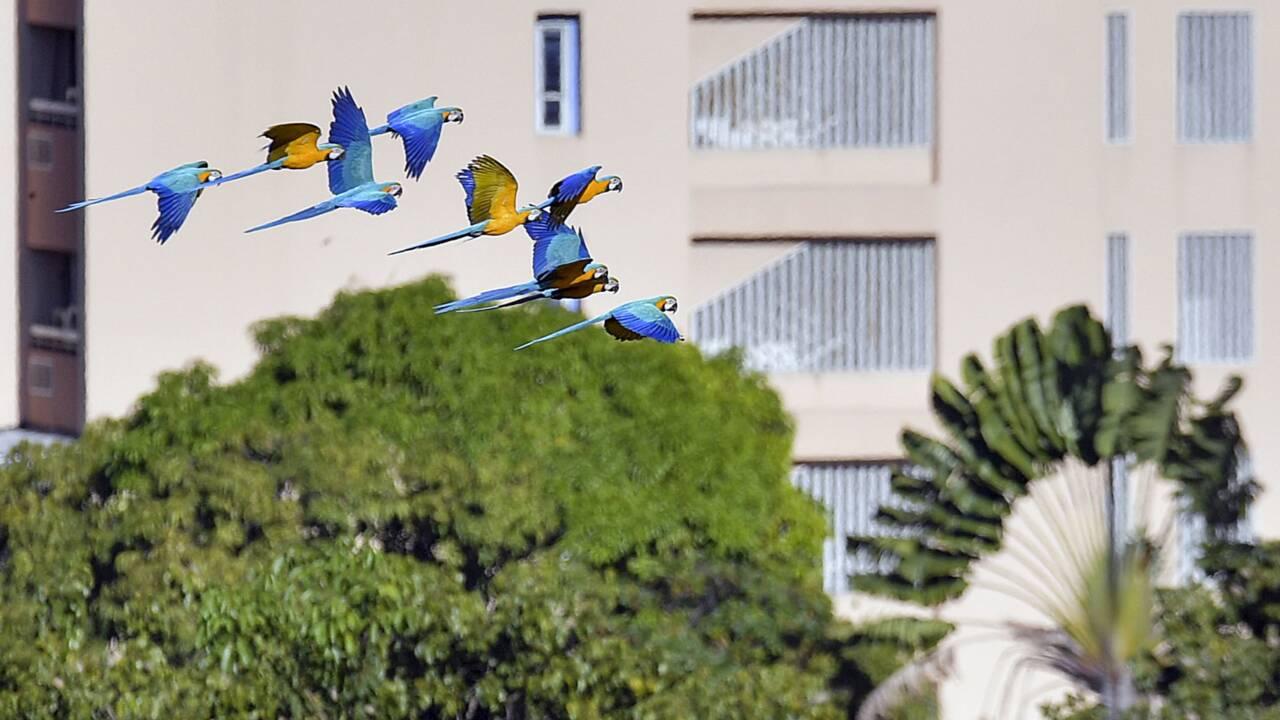 Les perroquets de Caracas, un spectacle bigarré dans la jungle urbaine