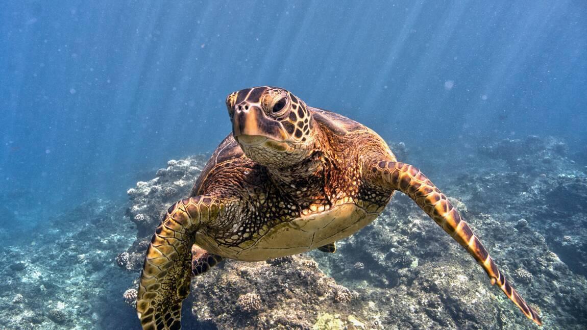 Le réchauffement climatique pourrait changer 90% des tortues vertes en femelles d'ici 2100